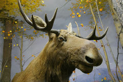 Elk head Royalty Free Stock Image