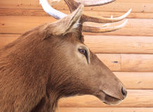 Elk head Stock Photography