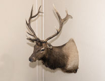 Elk head mounted on a wall. A Rocky Mountain Elk head with a nice rack of antlers is mounted on a beige wall in the home of John Kelton Pillow.  It is a sideview Royalty Free Stock Image