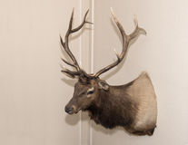 Elk head mounted on a wall. A Rocky Mountain Elk head with a nice rack of antlers is mounted on a beige wall in the home of John Kelton Pillow.  It is a sideview Royalty Free Stock Photos