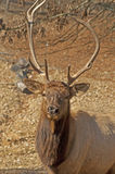 Elk head sporting large antlers. Stock Photography