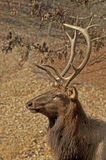 Elk head sporting large antlers. Royalty Free Stock Images