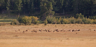 Elk heard Royalty Free Stock Photos