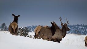 Elk Herd Stock Images