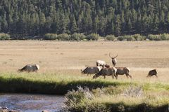 Elk herd Stock Photo