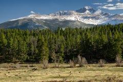 Elk Herd Beneath Longs Peak Stock Photography
