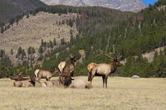 Elk Herd Stock Image