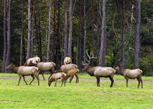 Elk herd and bull. A Pennsylvania bull elk and his herd of cows and calf's in early fall Stock Photos