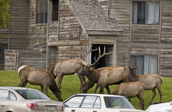 Elk herd disrupting traffic in Mammoth Hot Springs Stock Photo