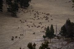 Elk Herd in Rocky Mountain National Park. Elk herd in early winter, near Estes Park, Colorado Stock Photos