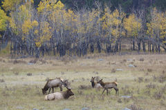 Elk Herd in Fall Stock Photos