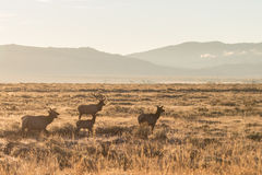 Elk Herd in Fall Rut Stock Image