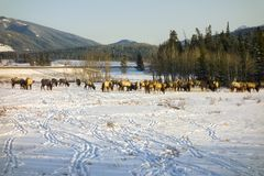 Elk Herd Feeding in early Springtime on Snow Covered Alberta Foothills Stock Images