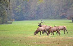 Elk Herd in a Field-1. Elk near the Smokey Mountains in the National Park Stock Photo