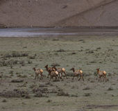 Elk Herd Going to the River stock image