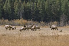 Elk Herd Grazing. Bull elk and cows grazing in the valley in Rocky Mountain National Park Stock Photos