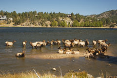 Elk Herd in Lake Stock Image
