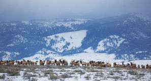 Elk Herd. A large herd of elk congegrate in the National Elk Refuge near Jackson, Wyoming Stock Images
