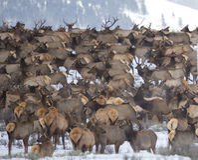 Elk Herd. A large herd of elk congregate in the National Elk Refuge near Jackson, Wyoming Royalty Free Stock Image