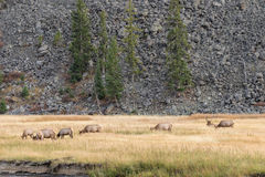 Elk Herd in Meadow Stock Photos