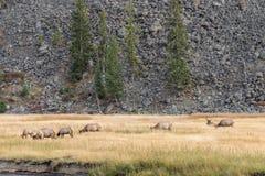 Elk Herd in Meadow Stock Photos