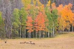 Elk Herd in Meadow in Fall Royalty Free Stock Image