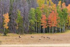 Elk Herd In Meadow in the Rut Royalty Free Stock Photos
