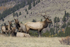 Elk Herd on Ridge Royalty Free Stock Images