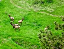 Elk Herd. Herd of Elk in the Rocky Mountains Royalty Free Stock Photography