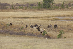 Elk Herd During Rut Stock Images