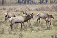 Elk Herd in Rut Stock Photography