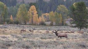 Elk Herd in Rut stock video footage