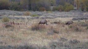 Elk Herd in Rut stock video