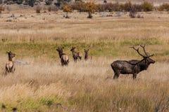 Elk Herd in Rut Royalty Free Stock Photo