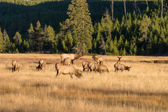 Elk Herd in Rut. A bull elk with his cows in a meadow during the fall rut Royalty Free Stock Photography