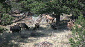 Elk Herd in Rut stock video