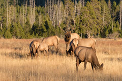 Elk Herd in Rut in Meadow Stock Image