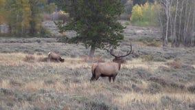 Elk Herd in Rut Zoom Out stock video footage