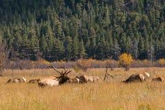 Elk Herd Rutting Stock Images