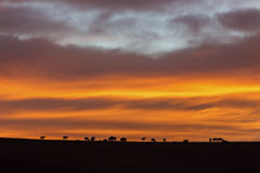 Elk herd silhouetted at sunrise Stock Photos