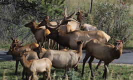 Elk herd Royalty Free Stock Image