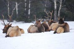 Elk herd in the snow Royalty Free Stock Images