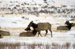 Elk Herd in snow field stock photography