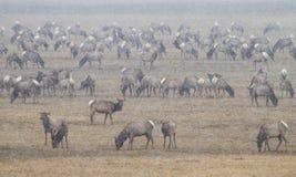 Elk herd in the snow Royalty Free Stock Photos