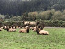 Elk Herd royalty free stock image