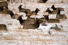 Elk Herd in Winter Royalty Free Stock Images