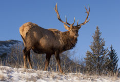 Elk on hill stock images