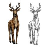 Elk hind vector sketch wild animal isolated icon. Elk wild animal sketch vector icon front view. Wild elk hind or stag wapiti mammal deer or moose species for royalty free illustration