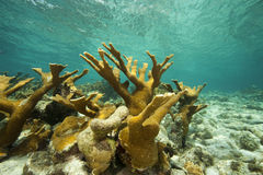 Elk Horn Coral, Bonaire Royalty Free Stock Photo