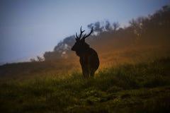 Elk in Hortain plains stock images